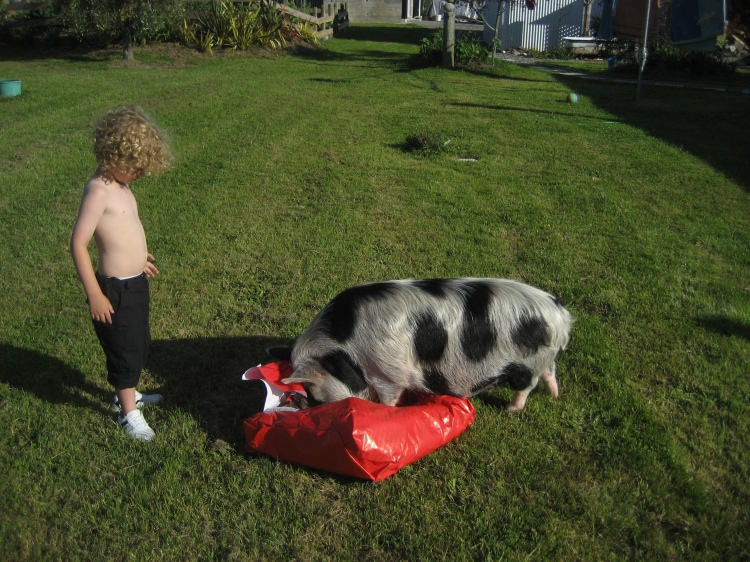 Baby pig opens birthday present.