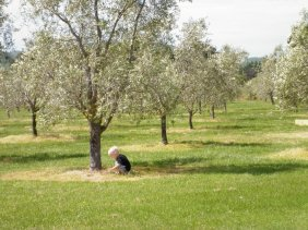 Mad Olive trees growing strong
